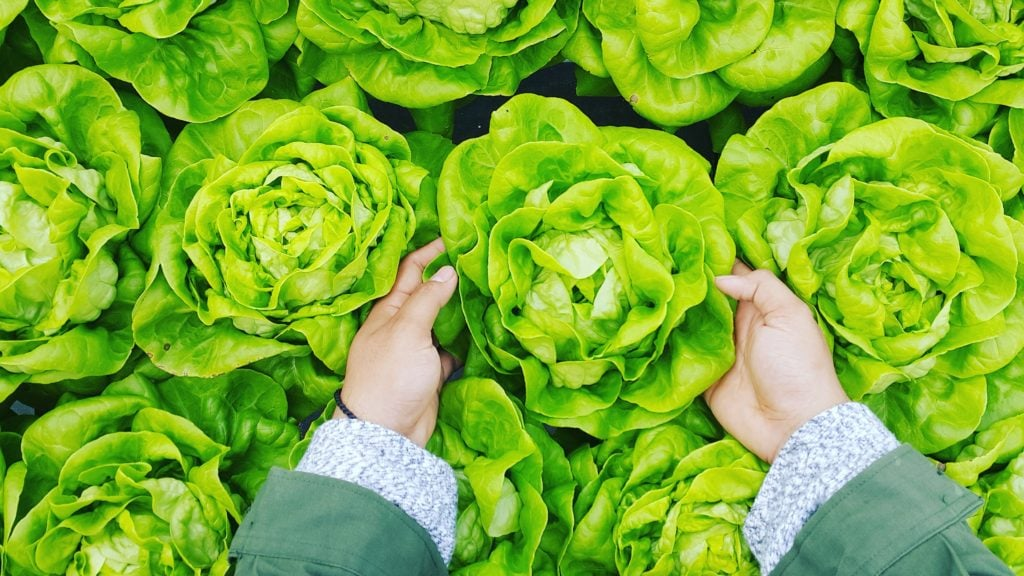 person-picking-up-butter-lettuce